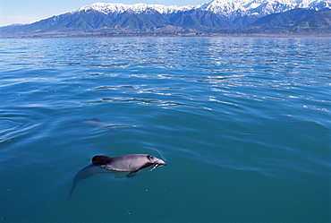 Endangered, endemic Hector's dolphin (Cephalorynchus hectori), with snow capped mountains in background, Kaikoura, South Island, New Zealand, South Pacific