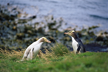 White morph with standard coloured yellow eyed penguins (Hoiho), (Megadyptes antipodes), Enderby Island, Auckland Islands, Sub-antarctic Islands, New Zealand, Southern Ocean.