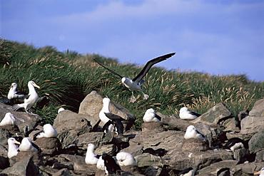 Black-browed albatross (Biomedea melanophris), landing at nesting colony, New Island, Falkland Islands, Southern Ocean.