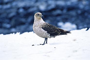 South polar skua (Catharacta maccormicki) on snow, much lighter plumage cf to Brown skua, Ross Sea, Antarctica, Southern Ocean