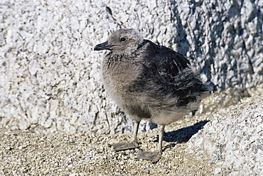 South polar skua (Catharacta maccormicki) chick about to fledge, will have much lighter plumage cf to Brown skua, Ross Sea, Antarctica, Southern Ocean