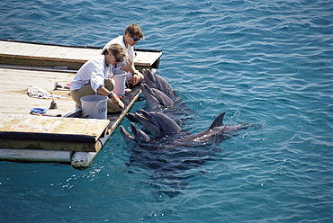 Bottlenose dolphin (Tursiops truncatus) With trainers, Dolphin Reef, Eilat, Israel, Read Sea