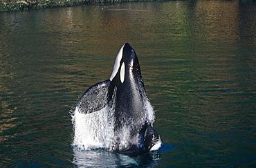 Keiko star of 'Free Willy' movie. Orca/killer whale (Orcinus orca) side breach. Vestmannaeyjar, Westman Islands), Iceland.