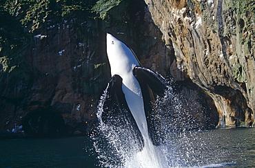 Keiko star of 'Free Willy' movie. Orca/killer whale (Orcinus orca). Vestmannaeyjar, Westman Islands), Iceland.
