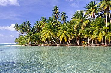 Coconut tree grove, Ifalik Island, Papua New Guinea, South Pacific Ocean.
