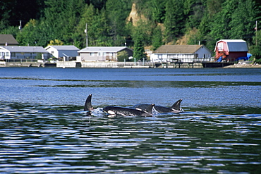 Transient orca/ killer whales (Orcinus orca), travelling slowly past residential area, Hood Canal, Settle, USA, Northeastern Pacific.
