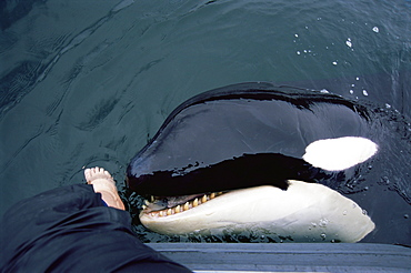 orca/ killer whale (Orcinus orca) 'Luna' (L98),  5-year old lone male interacting with people's feet in Nootka Sound, West Vancouver Island, Canada, North Pacific.