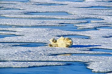 Polar bear (Ursus maritimus) rolling on snow ice pack. Spitzbergen, Polar High Arctic, North Atlantic.