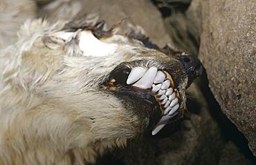 Head of dead Polar Bear (Ursus maritimus). Died of natural causes. Spitzbergen, Polar High Arctic, North Atlantic.
