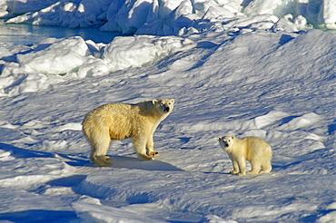 Polar bear (Ursus maritimus) mother with cub at edge of the ice.
