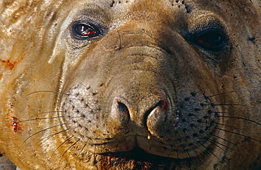 Sub-adult male Southern elephant seal (Mirounga leonine), South Georgia Island, Antartica, Southern ocean.
