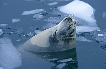 Crab eater seal (Lobodon carcinophaga) sleeping while floating at sea, near sea ice. Anvers Island, Antarctic Peninsula, Southern Ocean.