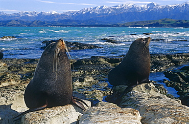 New Zealand fur seal (Arctochephalus forsteri) on rugged Kaikoura coast. Kaikoura, South Island, New Zealand.