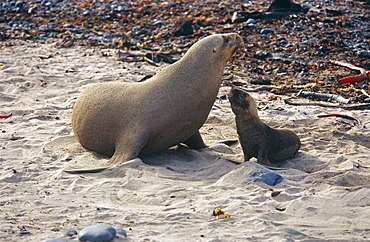 Hookers sealion (Phocarctos hookeri) mother with pup. Enderby Island, Subantarctic islands, New Zealand, Southern ocean.
