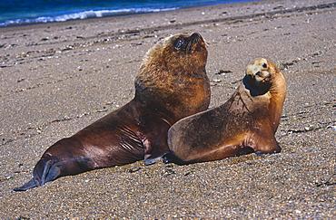 South American Sealion (Otaria flavescens) female and larger male. Punta Norte, Peninsula Valdez, Patagonia, Argentina.