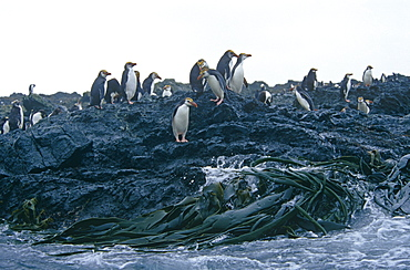 Royal Penguins (Eudyptes schlegli) on land. Maquarie Island, Australian sub-antarctic, Southern Ocean.