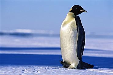 Emperor penguin (Aptenodytes forsteri) craning neck, Ross Sea, Antarctica, Southern Ocean.