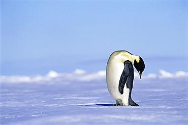 Emperor penguin (Aptenodytes forsteri) head bent over, Ross Sea, Antarctica, Southern Ocean.