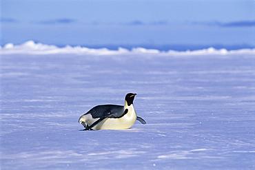 Emperor penguin (Aptenodytes forsteri) on stomach, Ross Sea, Antarctica, Southern Ocean.