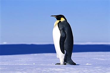 Emperor penguin (Aptenodytes forsteri) on land, side view of penguin, Ross Sea, Antarctica, Southern Ocean.