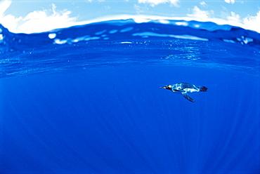 King penguin (Aptenodytes patagonicus)  Underwater, Macquarie Island, Australian sub-Antarctic.