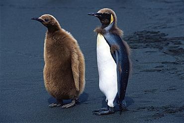 King penguin (Aptenodytes patagonicus) chicks molting, South Georgia, Antarctica, Southern Ocean.