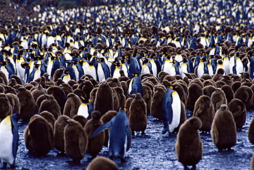 King penguins (Aptenodytes patagonicus) adults and chicks, South Georgia, Antarctica, Southern Ocean.