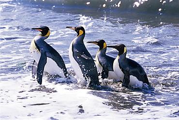King penguins (Aptenodytes patagonicus) in surf, South Georgia, Antarctica, Southern Ocean.
