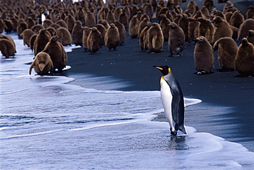 King penguins (Aptenodytes patagonicus) adult and chicks, South Georgia, Antarctica, Southern Ocean.
