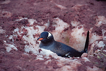 Gentoo penguin (Pygoscelis papua)  attempting to nest, which is 3/4 buried in deep snow from heavy snowfall,, Cuverville Island, Antarctica, Southern Ocean.