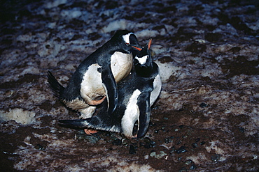 Gentoo penguins (Pygoscelis papua) mating (male on top), Cuverville Island, Antarctica, Southern Ocean.