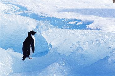 Adelie penguin (Pygoscelis adeliae) on ice berg, Terra Nova Bay, Ross Sea, Antarctic, Southern Ocean