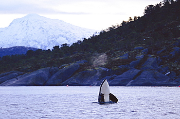 Killer whale (Orcinus orca) spy hopping Tysfjord, Norway