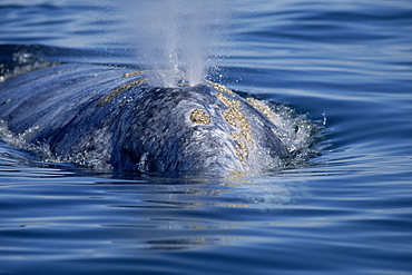 Grey whale (Eschrichtius robustus) surfacing to blow near boat. Yellowish barnacles and mottled pigmentation typical of this species. Baja California, Mexico