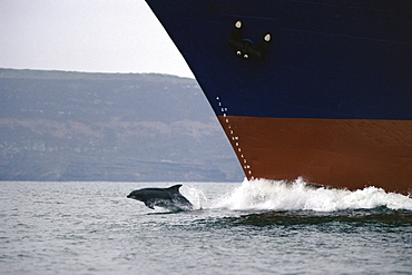 Bottlenose dolphin (Tursiops truncatus truncatus) bow-riding a cargo ship Shannon Estuary, Ireland.