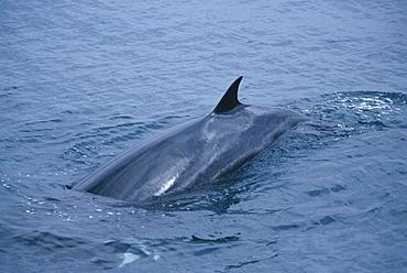 Minke whale (Balaenoptera acutorostrata) at surface with dorsal fin Hebrides, Scotland, UK