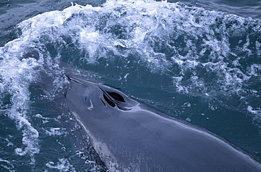 Minke whale (Balaenoptera acutorostrata) surfacing with open blow holes visible. Reykjavik, Iceland.