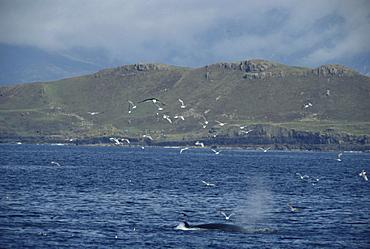 Minke whale (Balaenoptera acutorostrata) feeding on bait ball at surface, Isle of Mull, Hebrides, Scotland