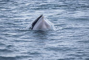 Minke whale (Balaenoptera acutorostrata) lunge feeding showing throat grooves, Iceland