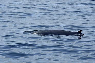 Minke whale (Balaenoptera acutorostrata) surfacing, Hebrides, Scotland