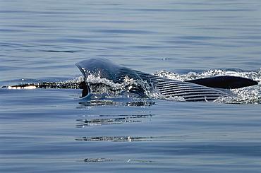Fin whale (Balaenoptera physalus) lunge feeding