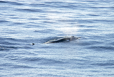 Fin whale (Balaenoptera physalus) with water vapour from blow and blow hole visible. Bay of Biscay, SW Europe.    (RR)