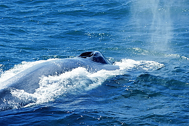 Blue whale (Balaenoptera musculus) with vapour from recent blow. Large splash guard visible around open blow holes Monterey, USA