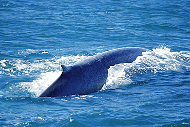 Blue whale (Balaenoptera musculus) surfacing with long back and characteristically small dorsal visible. West of Iceland.
