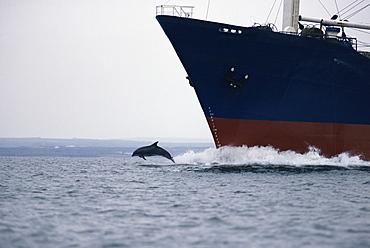Bottlenose dolphin (Tursiops truncatus) bowriding cargo ship, Shannon, Ireland