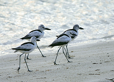 Crab plovers (Dromas ardeola) moving along waters edge in late evening to roosting grounds. Bird Island, Seychelles, Indian Ocean   (RR)