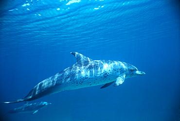 Atlantic spotted dolphin (Stenella frontalis). Bimini, Bahamas