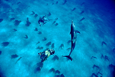 Free diving with Atlantic spotted dolphins (Stenella frontalis) in clear waters off Island of Bimini. Here dolphins come to rest and socialist between feeding sessions. Isla