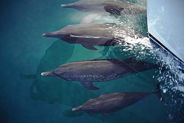 Pod of Atlantic spotted dolphins (Stenella frontalis) bowriding dolphin watching boat. Bimini, Bahamas