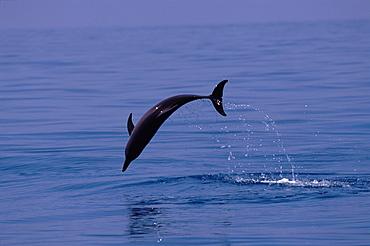 Atlantic spotted dolphin (Stenella frontalis) jumping. Bimini, Bahamas.